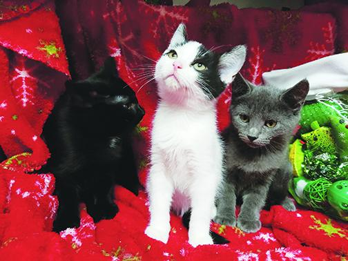 Kittens sit in front of a Christmas blanket at Putnam County Animal Control in Palatka.