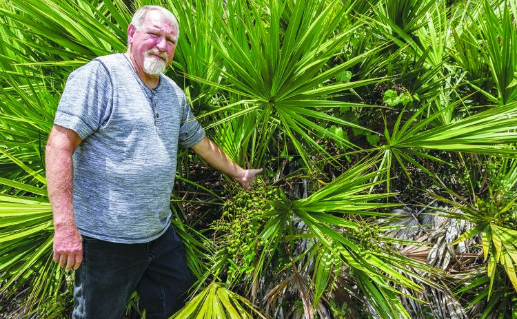 Randy Cumbo picks out some of the berries on this palmetto palm tree.